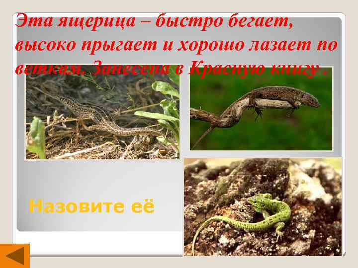 Эта ящерица – быстро бегает, высоко прыгает и хорошо лазает по веткам. Занесена в