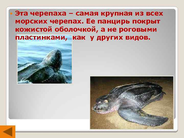 Эта черепаха – самая крупная из всех морских черепах. Ее панцирь покрыт кожистой