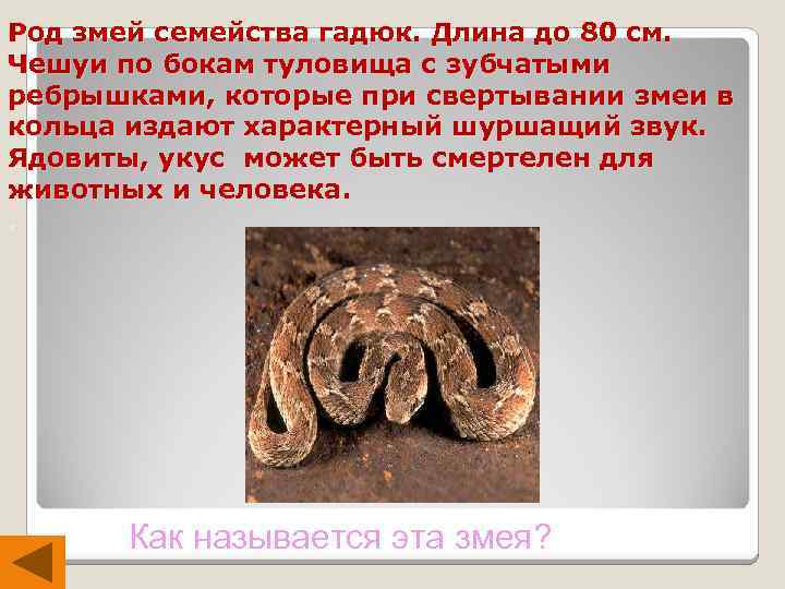 Род змей семейства гадюк. Длина до 80 см. Чешуи по бокам туловища с зубчатыми