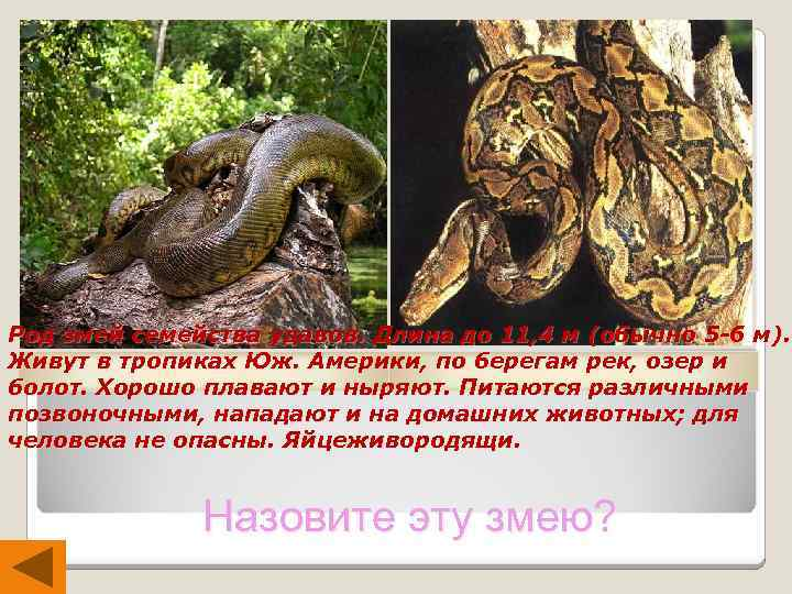 Род змей семейства удавов. Длина до 11, 4 м (обычно 5 -6 м). Живут