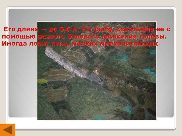 Его длина — до 6, 6 м. Ест рыбу, схватывая ее с помощью