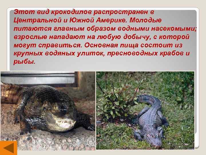 Этот вид крокодилов распространен в Центральной и Южной Америке. Молодые питаются главным образом водными