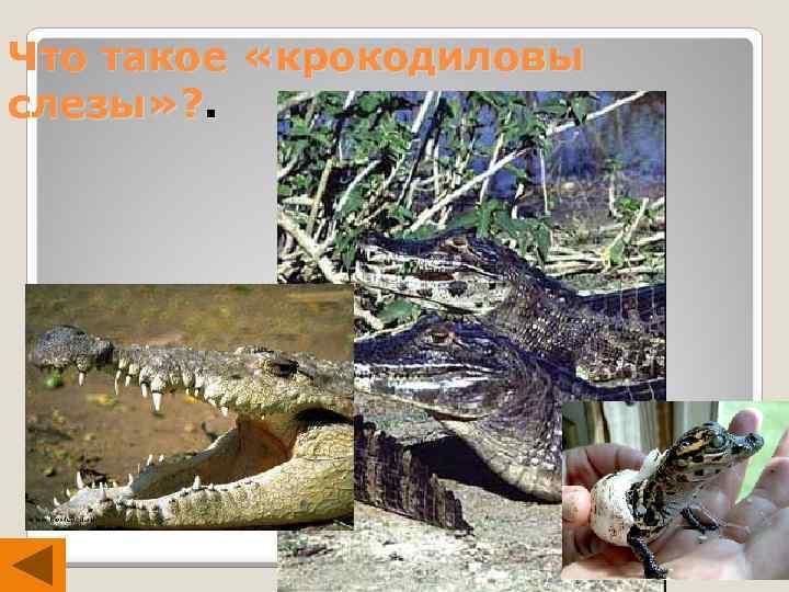 Что такое «крокодиловы слезы» ? .