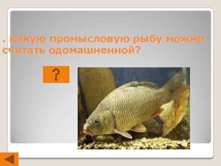 . Какую промысловую рыбу можно считать одомашненной?
