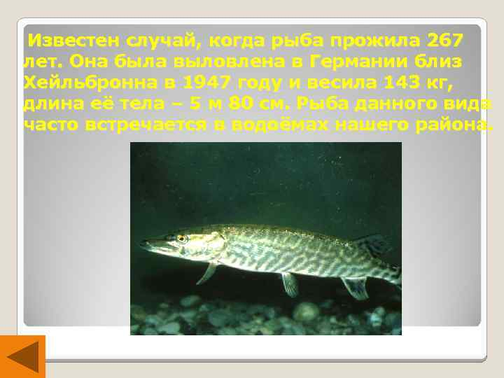 Известен случай, когда рыба прожила 267 лет. Она была выловлена в Германии близ