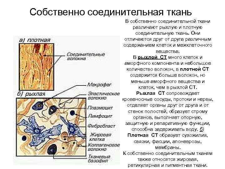 Собственно соединительная ткань В собственно соединительной ткани различают рыхлую и плотную соединительную ткань. Они