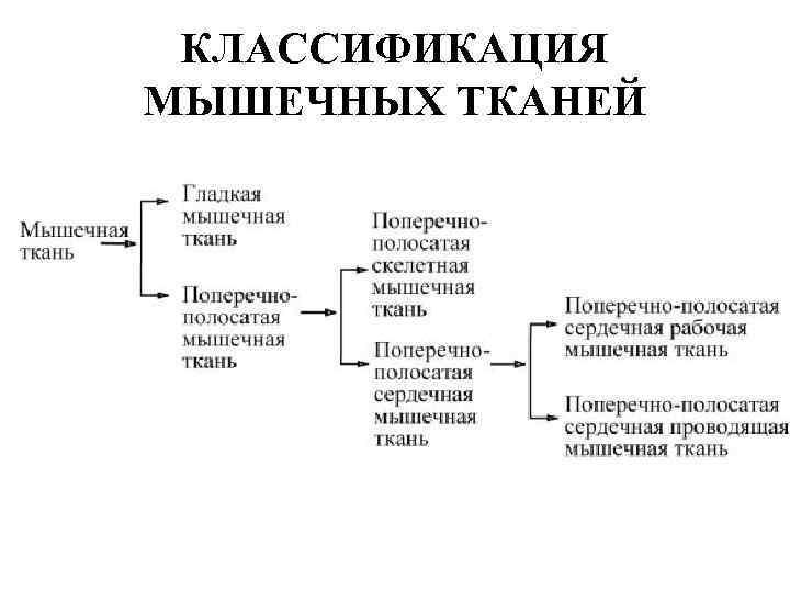 КЛАССИФИКАЦИЯ МЫШЕЧНЫХ ТКАНЕЙ