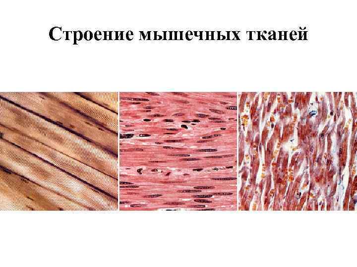 Строение мышечных тканей