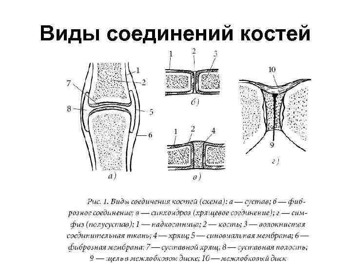 Виды соединений костей