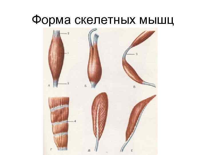 Форма скелетных мышц