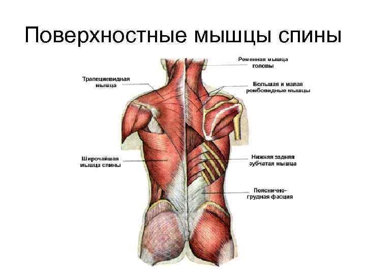 Поверхностные мышцы спины