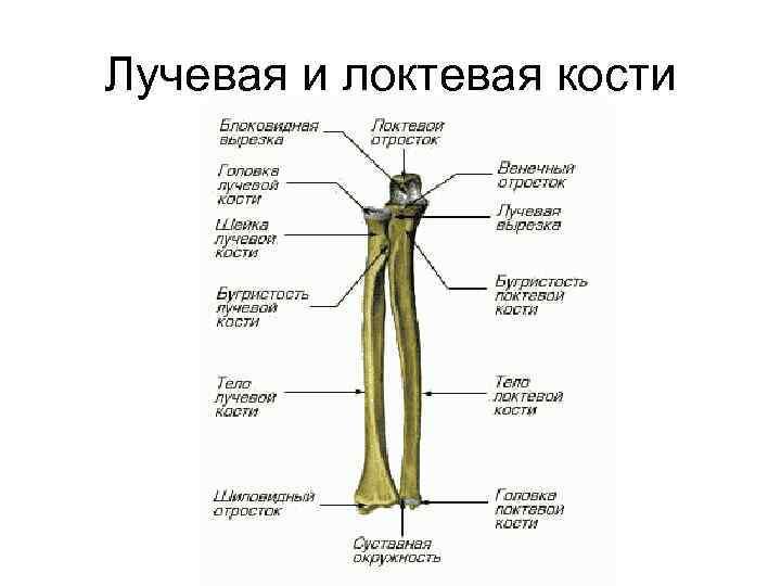 Лучевая и локтевая кости