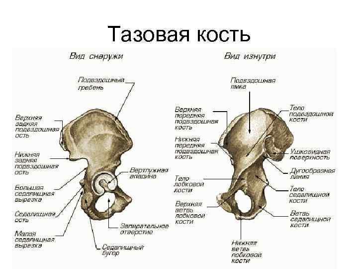 Тазовая кость