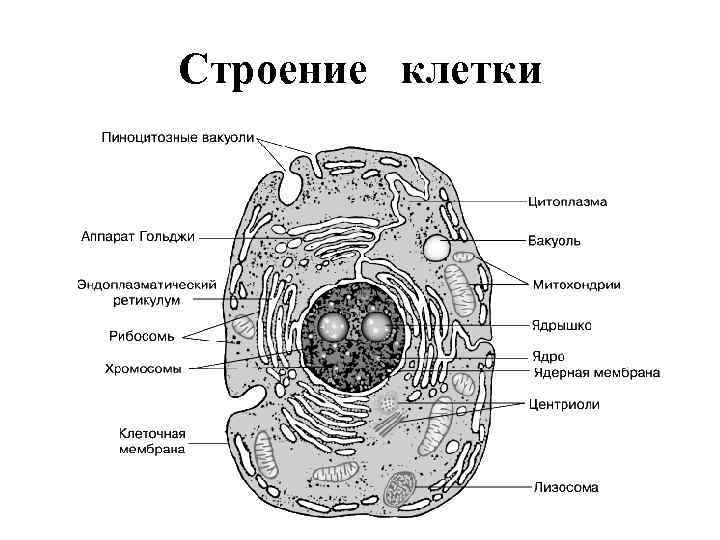 Строение клетки