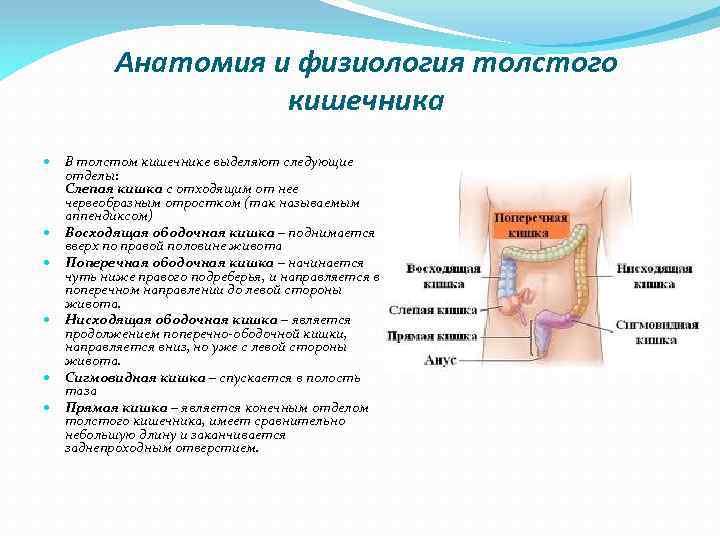 Анатомия и физиология толстого кишечника В толстом кишечнике выделяют следующие отделы: Слепая кишка с