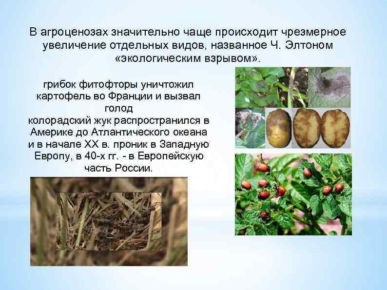 В агроценозах значительно чаще происходит чрезмерное увеличение отдельных видов, названное Ч. Элтоном «экологическим взрывом»