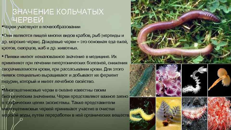Многообразие и значение кольчатых червей