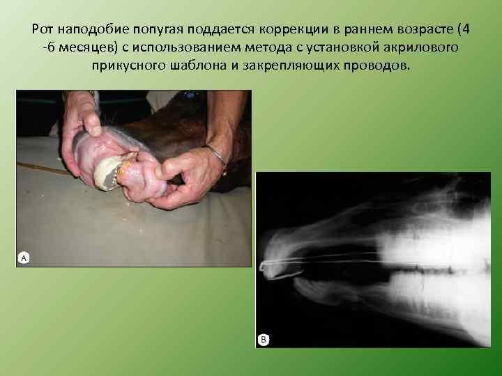 Рот наподобие попугая поддается коррекции в раннем возрасте (4 -6 месяцев) с использованием метода