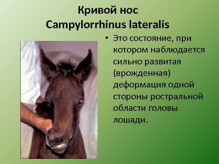 Кривой нос Campylorrhinus lateralis • Это состояние, при котором наблюдается сильно развитая (врожденная) деформация
