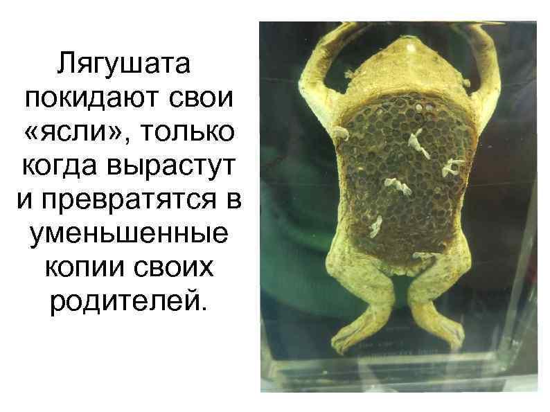 Лягушата покидают свои «ясли» , только когда вырастут и превратятся в уменьшенные копии своих