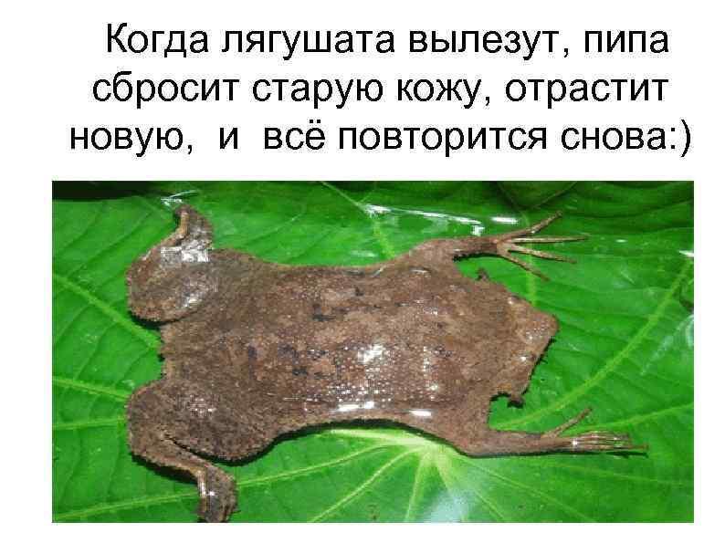 Когда лягушата вылезут, пипа сбросит старую кожу, отрастит новую, и всё повторится снова: )