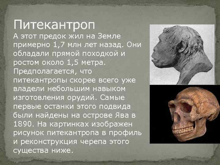 Питекантроп А этот предок жил на Земле примерно 1, 7 млн лет назад. Они
