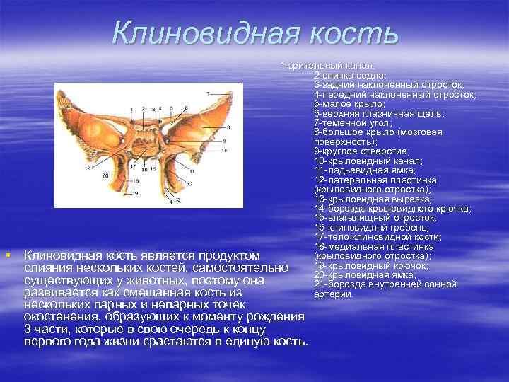 Клиновидная кость § 1 -зрительный канал; 2 -спинка седла; 3 -задний наклоненный отросток; 4
