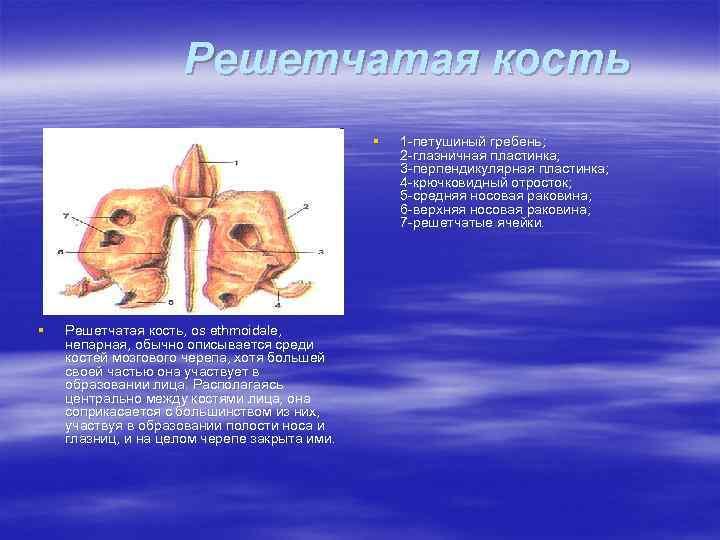 Решетчатая кость § § Решетчатая кость, os ethmoidale, непарная, обычно описывается среди костей мозгового