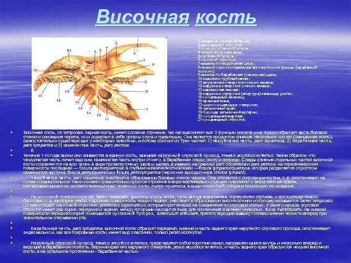 Височная кость § § § 1 -наружный слуховой проход; 2 -шиловидный отросток; 3 -поза-дисуставной