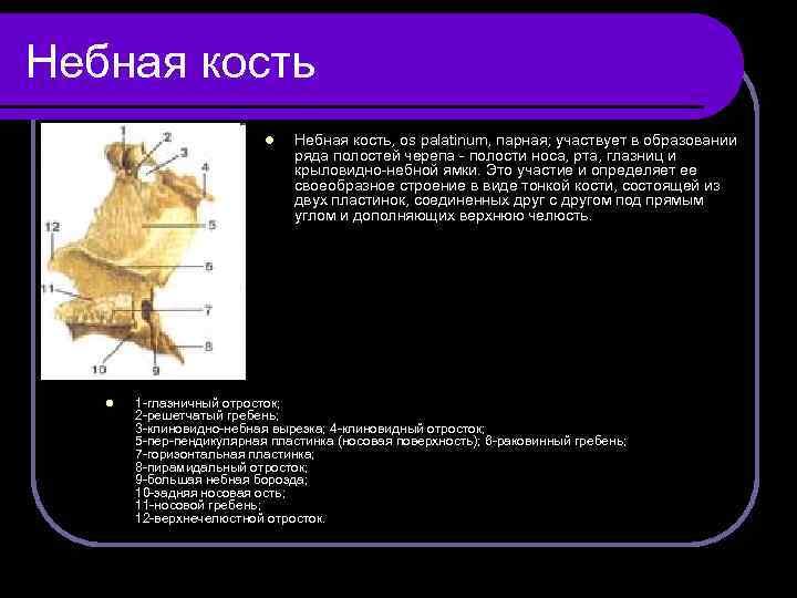 Небная кость l l Небная кость, os palatinum, парная; участвует в образовании ряда полостей