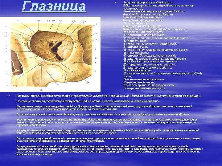 Глазница § § 1 -скуловой отросток лобной кости; 2 -большое крыло клиновидной кости (глазничная