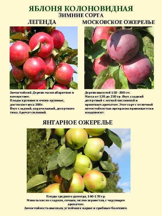 Особенности при выращивании колоновидной яблони 99