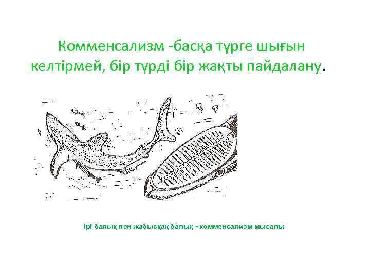 Комменсализм -басқа түрге шығын келтірмей, бір түрді бір жақты пайдалану. Ірі балық пен