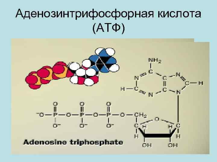 Аденозинтрифосфорная кислота (АТФ)