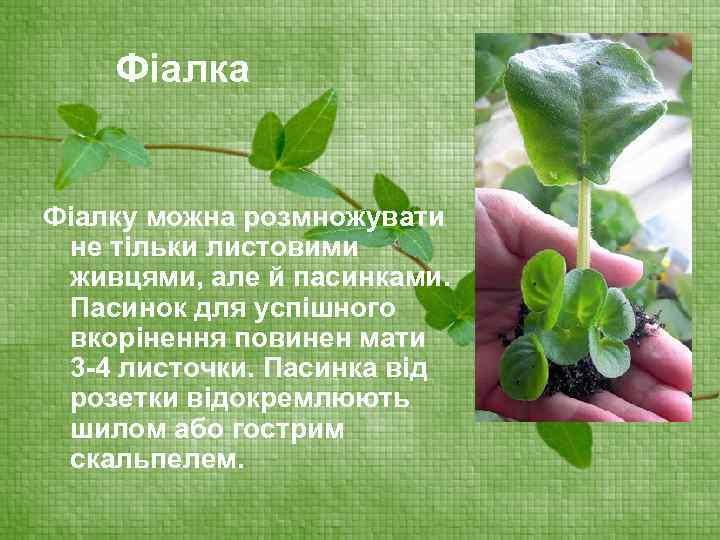 Фіалка Фіалку можна розмножувати не тільки листовими живцями, але й пасинками. Пасинок для успішного