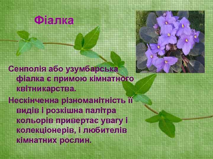 Фіалка Сенполія або узумбарська фіалка є примою кімнатного квітникарства. Нескінченна різноманітність її видів і
