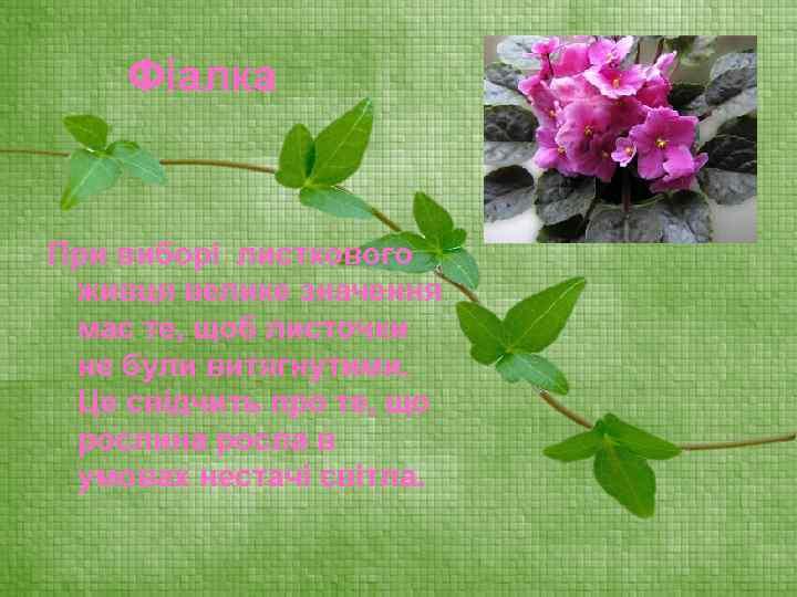 Фіалка При виборі листкового живця велике значення має те, щоб листочки не були витягнутими.