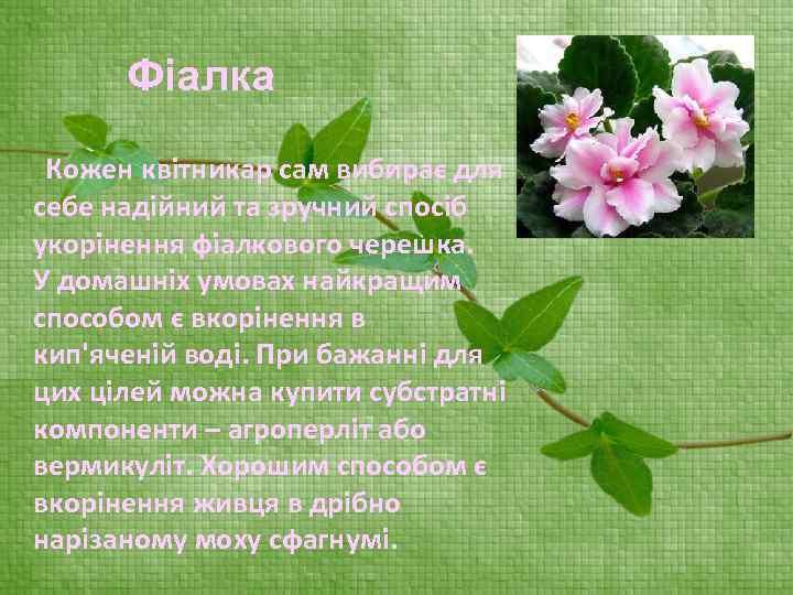 Фіалка Кожен квітникар сам вибирає для себе надійний та зручний спосіб укорінення фіалкового черешка.