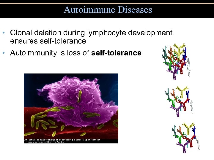 Autoimmune Diseases • Clonal deletion during lymphocyte development ensures self-tolerance • Autoimmunity is loss