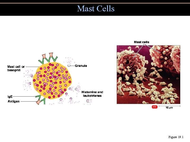 Mast Cells Figure 19. 1
