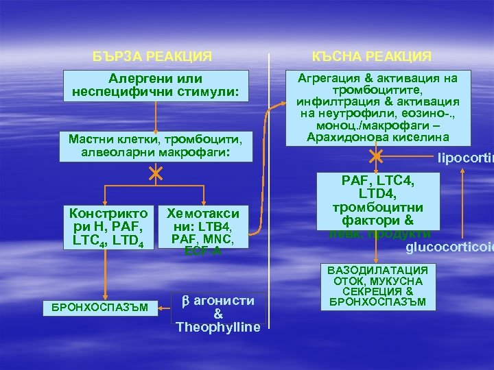 БЪРЗА РЕАКЦИЯ Алергени или неспецифични стимули: Мастни клетки, тромбоцити, алвеоларни макрофаги: Констрикто ри H,