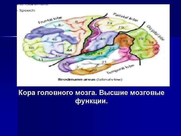 Кора головного мозга. Высшие мозговые функции.
