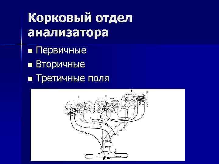 Корковый отдел анализатора Первичные n Вторичные n Третичные поля n