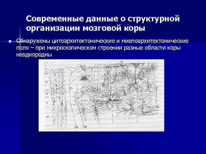 Современные данные о структурной организации мозговой коры n Обнаружены цитоархитектонические и миелоархитектонические поля –
