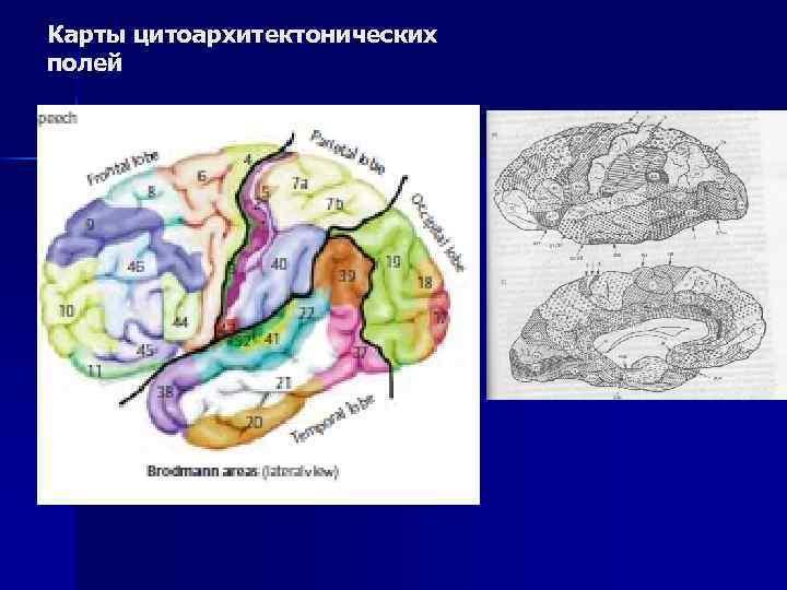 Карты цитоархитектонических полей