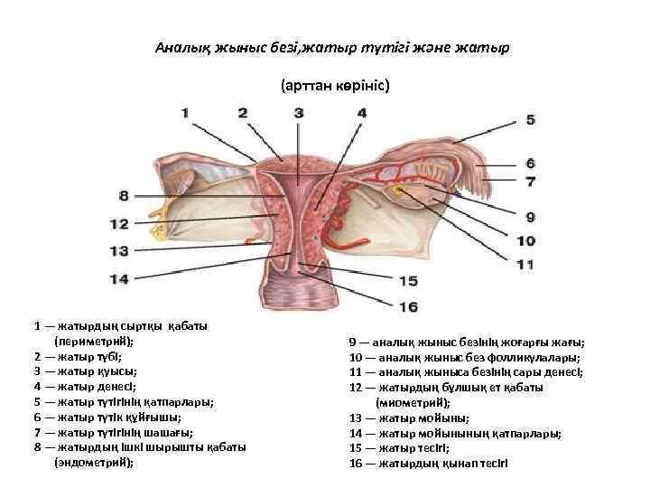 Аналық жыныс безі, жатыр түтігі және жатыр (арттан көрініс) 1 — жатырдың сыртқы қабаты