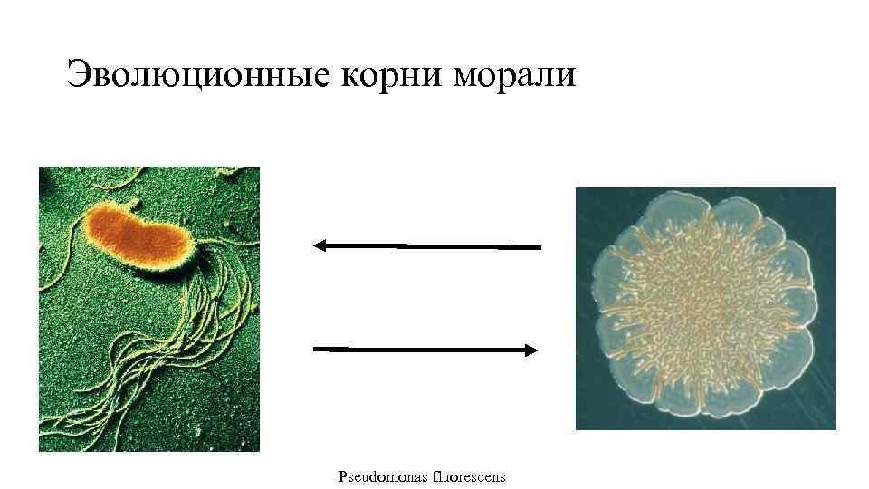 Эволюционные корни морали Pseudomonas fluorescens