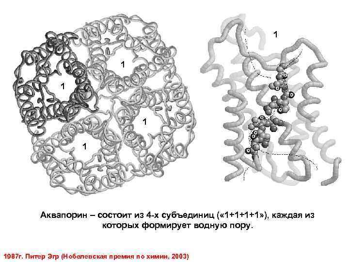 1 1 1 Аквапорин – состоит из 4 -х субъединиц ( « 1+1+1+1» ),