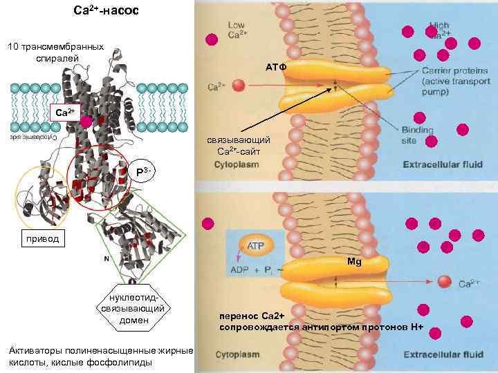 Са 2+-насос 10 трансмембранных спиралей АТФ Са 2+ связывающий Са 2+-сайт P 3 -