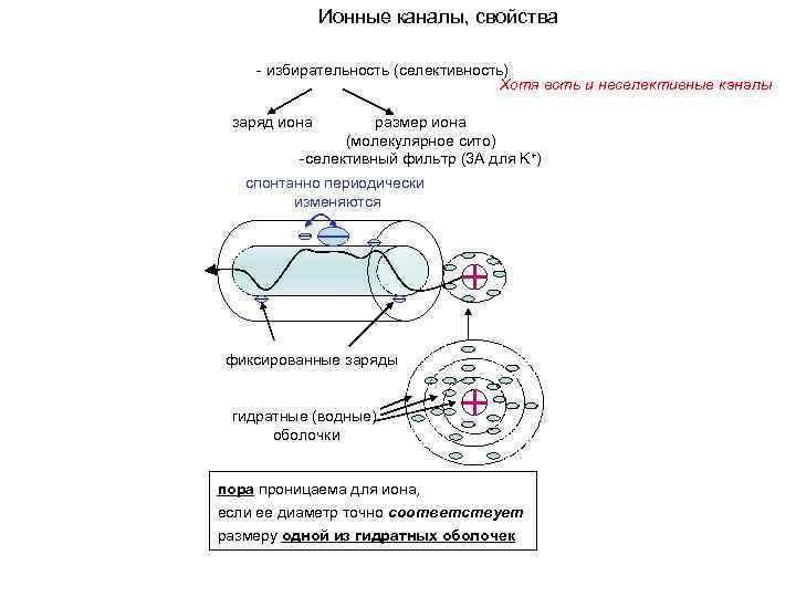 Ионные каналы, свойства - избирательность (селективность) Хотя есть и неселективные каналы заряд иона размер